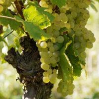 Cave la Tulipe Article biodynamie int 3 200x200 - Vins Bio, Vins en Biodynamie, Vins natures, quelle différence ?