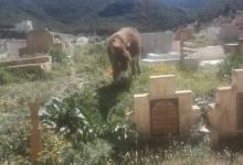 Photo of مقبرة المسلمين بآزرو تتحول إلى مرتع للخنازير والحمير وملجأ للسكارى والكلاب الضالة