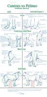 canine_v_feline_anatomy