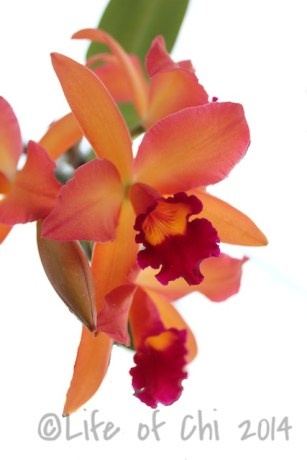 Rhyncattleanthe 'Namib Sunset': A hybrid from the cattleya alliance. I didn't know the name of this orchid when I bought it. I fell for the colors only. But how perfect it is for a person that has lived in the Namib desert to have a flower named after a place I called home.
