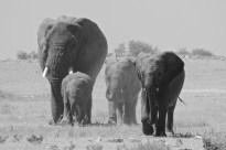 Elephants in Etosha National Park