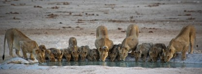 My favorite pride of them all. The Nebrownii pride in Etosha National Park