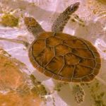 Cayman Turtle Farm boosts hatch rate with better diet