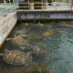 Animal activists target Carnival's turtle farm trips