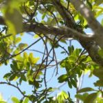 Mistletoe feared extinct found on Little Cayman