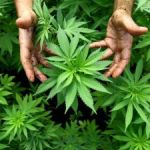 Ganja industry to pitch investment ideas in Cayman