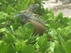 Green iguana cull, Cayman News Service