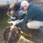 DoE cares for rescued sick green turtle