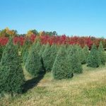 DoA moves to block Christmas tree pests