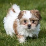 Rescued Shih Tzus won't be put down, says DoA