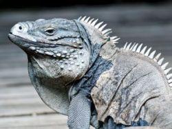 Blue iguana, Cayman News Service