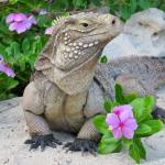 Sister Island iguana in worrying decline