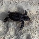 Turtles still at risk despite record year