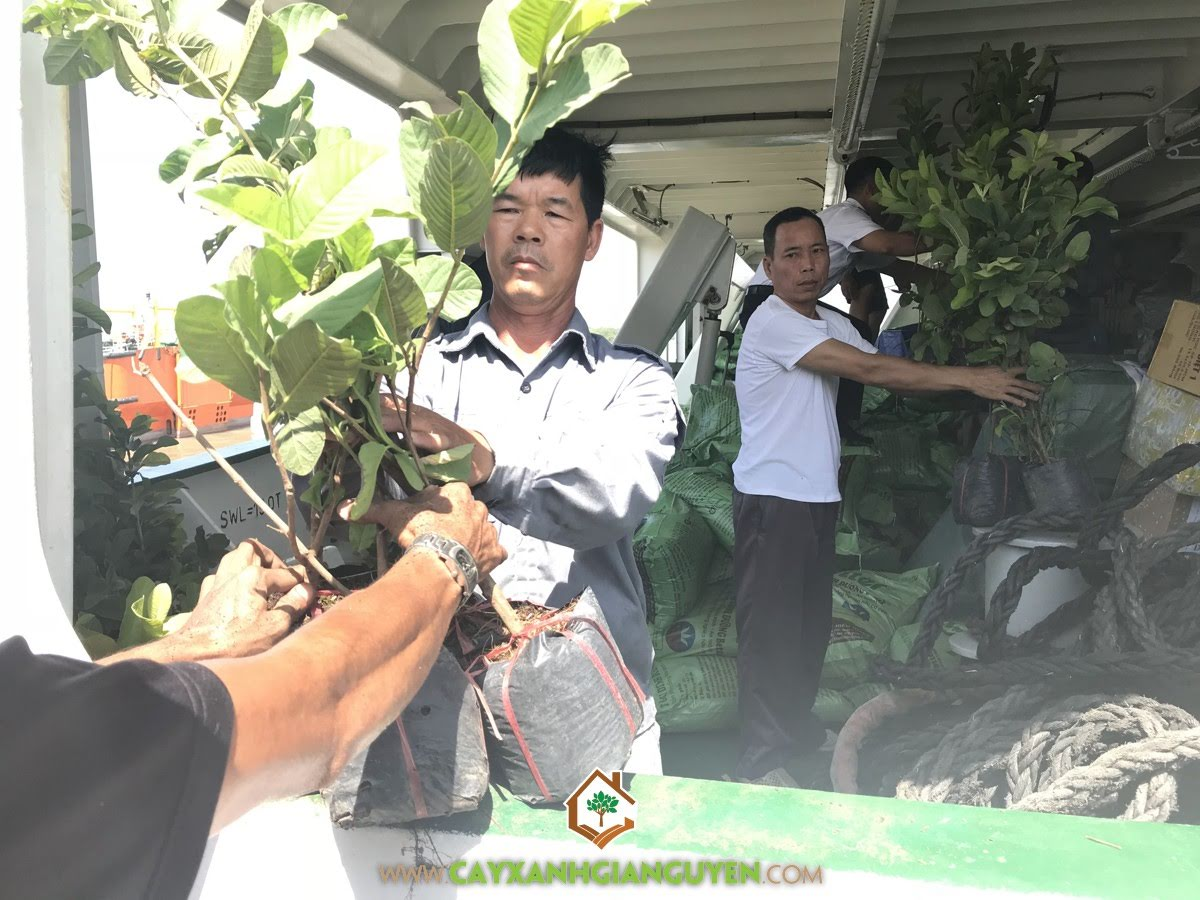 Vườn ươm Cây Xanh Gia Nguyễn, Cây Ổi Lê Đài Loan, Bông Giấy, Cây Dừa Xiêm Lùn, Cây Phi Lao