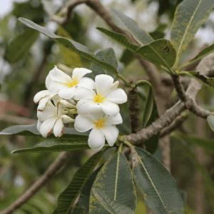Hình Ảnh Cây Sứ Đại Hoa Trắng - Cây Bóng Mát - Cty TNHH Cây Xanh Đông Thuận Đông