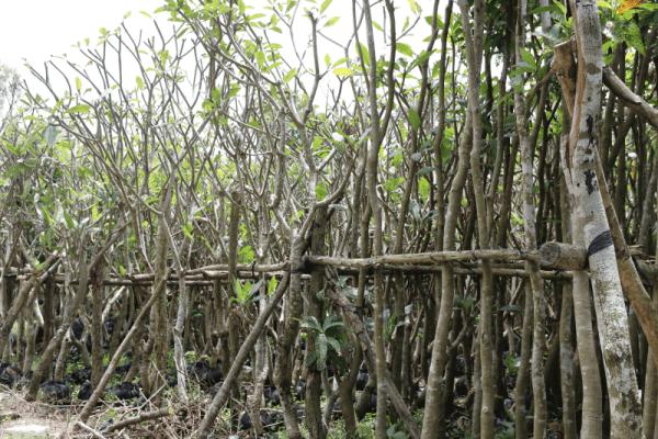 Hình Ảnh Cây Sứ Đại Hoa Vàng Hồng - Cây Bóng Mát - Cty TNHH Cây Xanh Đông Thuận Đông