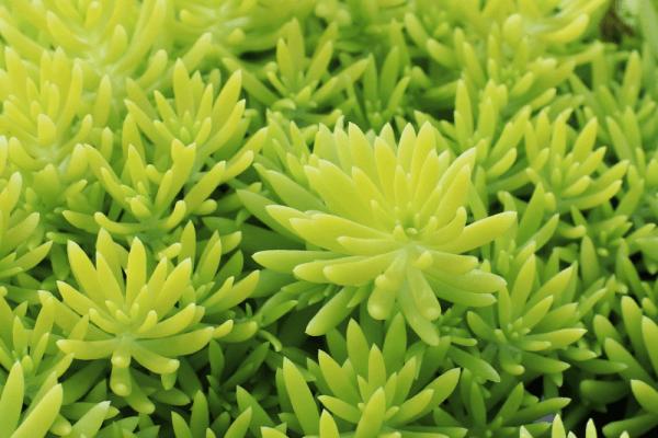 Hình Ảnh Cây Hoa Mười Giờ Úc - Hoa Công Trình Các Loại - Cty TNHH Cây Xanh Đông Thuận Đông