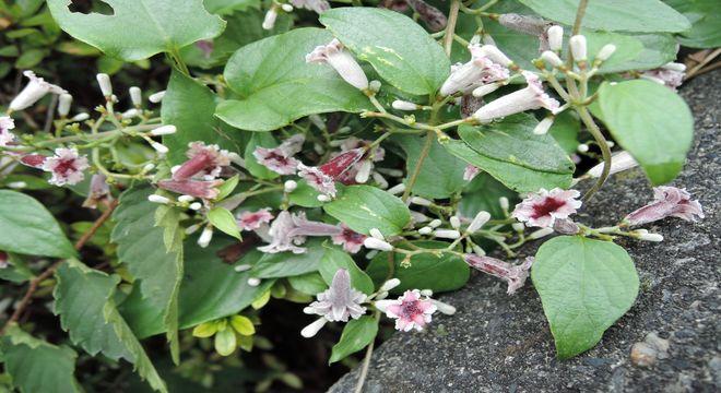 ヘクソカズラの花を写真と動画で撮りました。臭いは臭くないです。