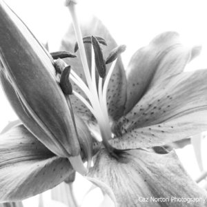 Lily by Cazartco