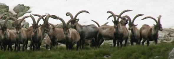 Gredos Ibex