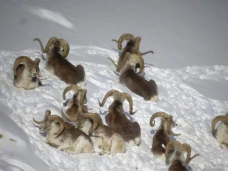 marcopolo herd