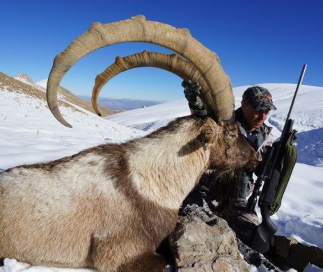 ibex bezoar turquia