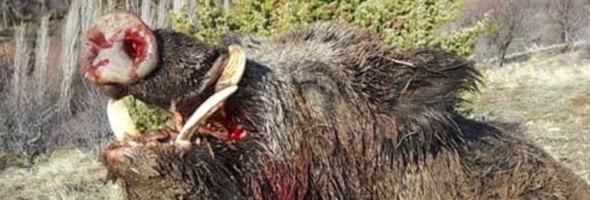 Wildboars in Turkey