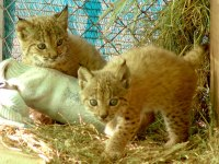 Nacen los primeros linces en los centros de cría de Parques Nacionales