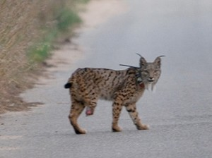 images_wonke_actualidad_medio-ambiente_20120530-lince