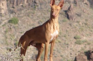 Canarias: Pacma pide prohibir la caza, peleas de gallo, arrastre y ganado en romerías