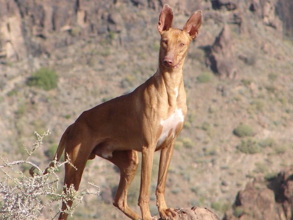 images_wonke_actualidad_20120824_podenco_canarias