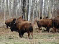 ¿Se cazó el bisonte hasta su extinción?