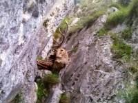La sarna en la Cordillera Cantábrica