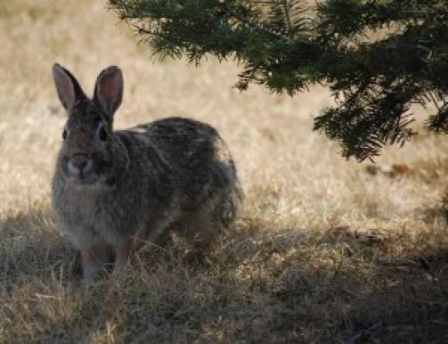 menor conejo