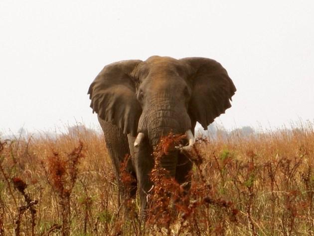 355 - Las cosas importantes (2) elefante