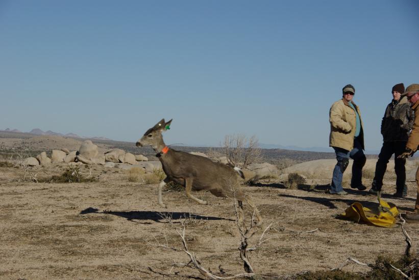 censo ciervo cola blanca