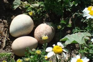 huevos perdiz 1