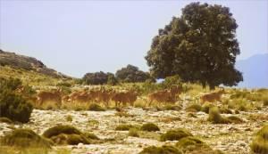 358 - Muflon del Atlas arruí