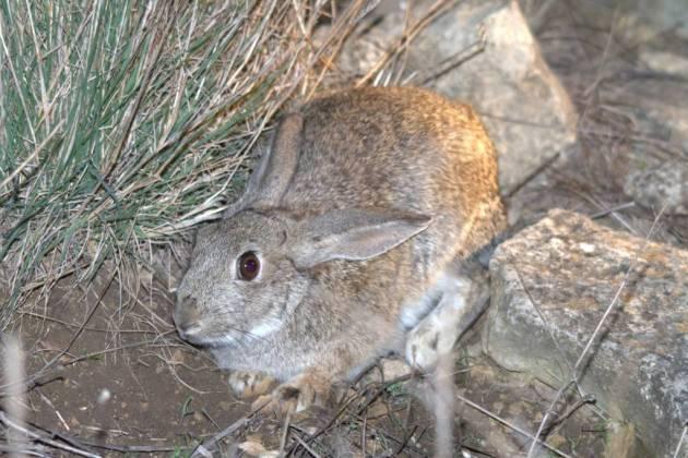 conejo adecana