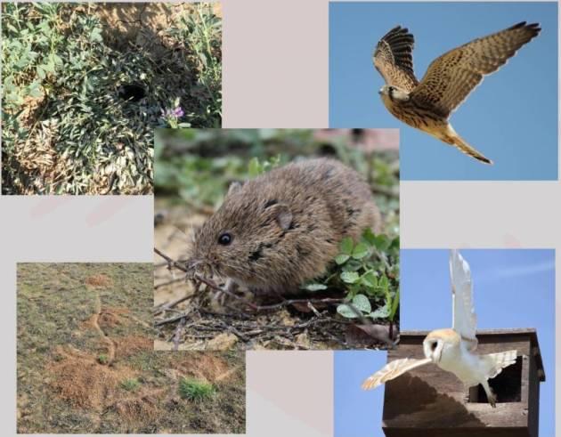 Las plagas de roedores son un serio problema para la producción agraria a nivel mundial, y el topillo campesino (Microtus arvalis) es el Vertebrado considerado como peor plaga agraria en Europa. © IREC