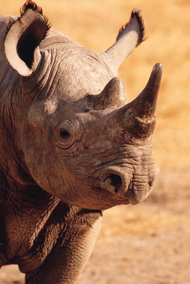 rinoceronte negro © SCI