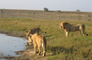 Zambia levanta la prohibición de la caza de grandes felinos