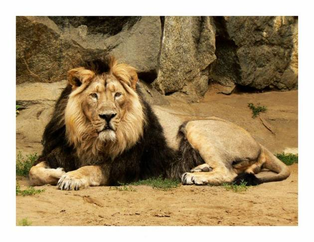 360 - Felidae el leon