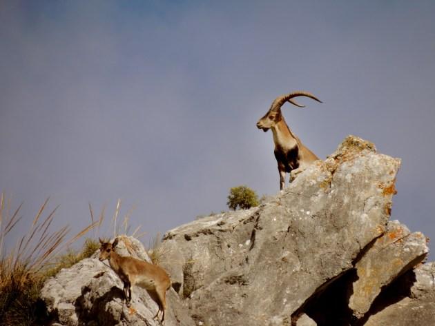 360 - Macho montes en Andalucia (2)