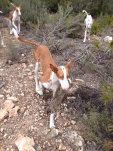 perro podenco ibicenco con conejo © M. A. Arnau