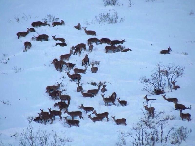 manada de ciervos en la nieve en Quinto Real © ADECANA
