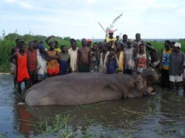 hipopótamo la carne se la llevan los nativos y se la comen