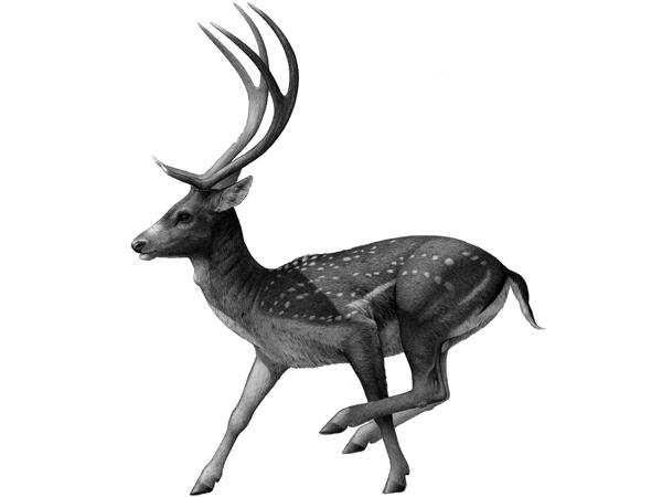 Recreación de Eduardo Saiz de Dama cf. vallonnetensis basada en material encontrado en la Sima del Elefante, de Atapuerca.
