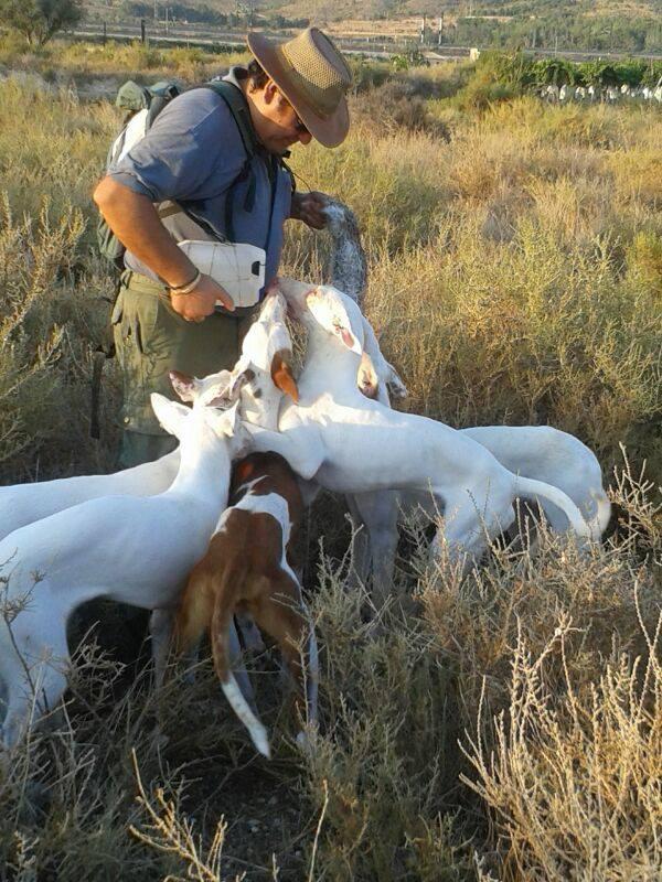 cazador con podenco ibicenco caza conejo