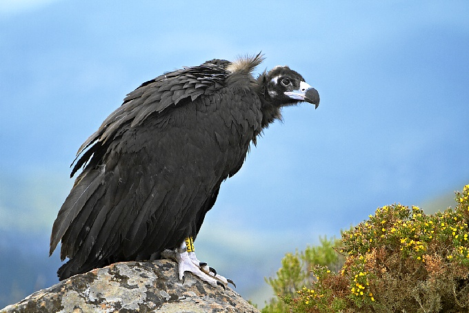 Buitre-negro-2